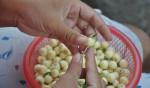 Giá hạt sen tươi huế bao nhiêu 1kg hiện nay?